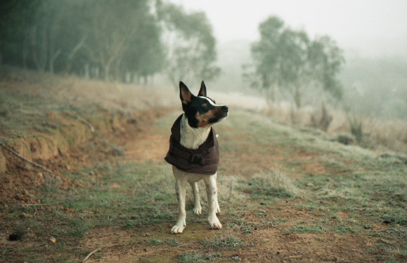 Wilson in his winter jacket. Victoria, Australia.