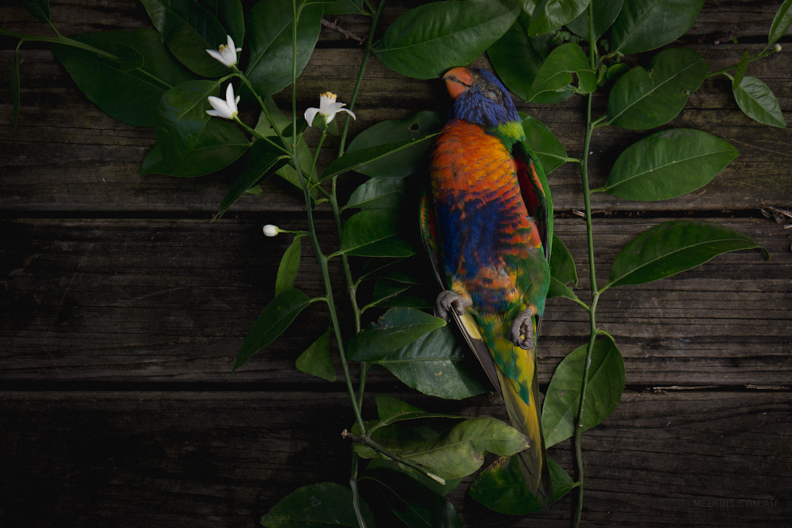 Dearly departed lorikeet. Sydney, Australia.